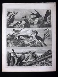 Heck 1849 Antique Bird Print. Kingfisher, Hornbill, Nightjar, Swift